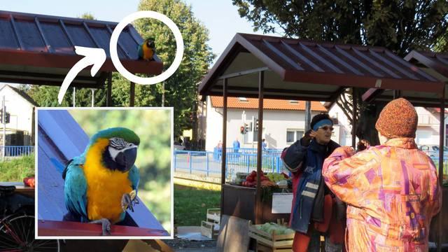 Papagaj Rođo je najveći žicar u Sl. Brodu, glavna faca na placu