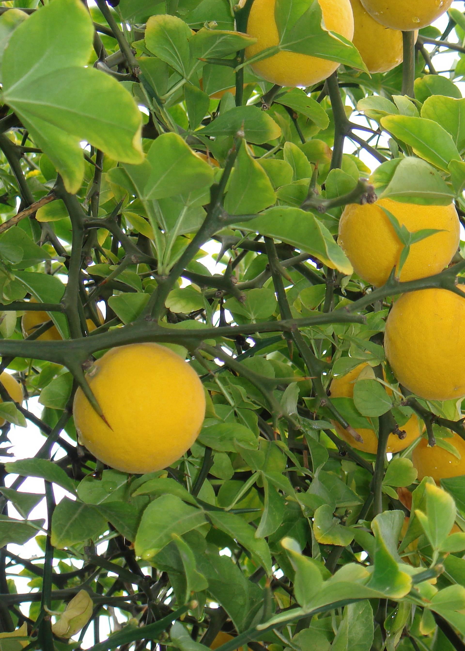 Aromatični sibirski limun može izdržati i oštre zime do -30°C
