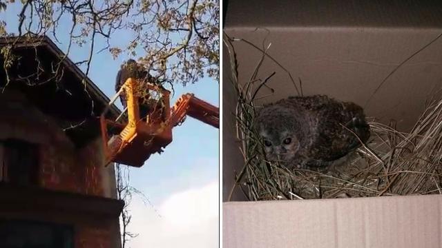 Mala sova pala je iz gnijezda, nasreću, tu su dobri radnici...