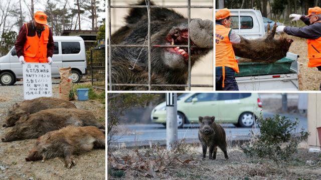 Horor u Fukushimi: Ulicama su zavladali radioaktivni veprovi