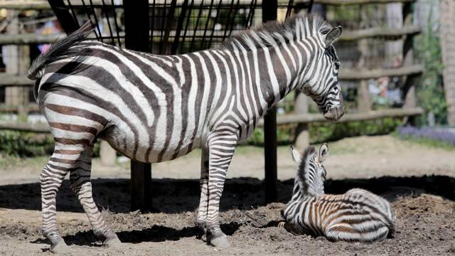 Zagreb: Mladunče zebre novi je stanovnik Zoološkog vrta