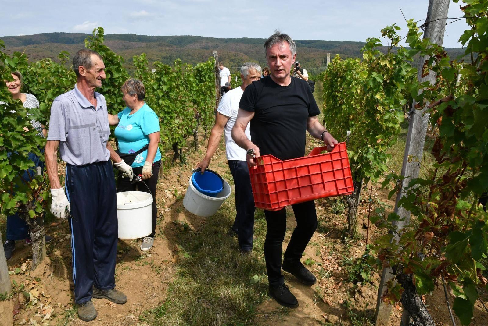 Mitrovac: Berba grožđa u vinogradupredsjedničkog kandidata Miroslava Škore