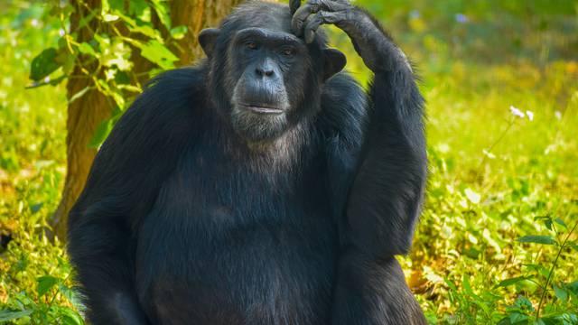 Poput ljudi, i čimpanze u starijoj dobi biraju važna prijateljstva