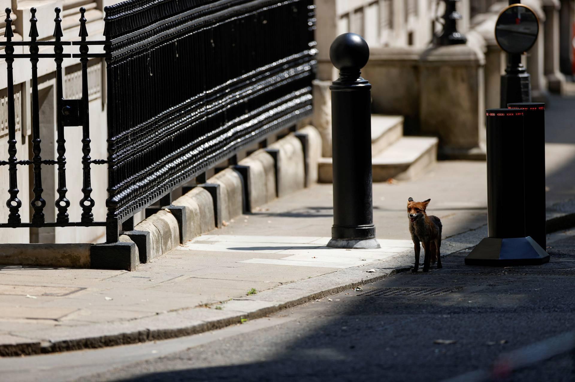 A fox is seen in Downing Street in London