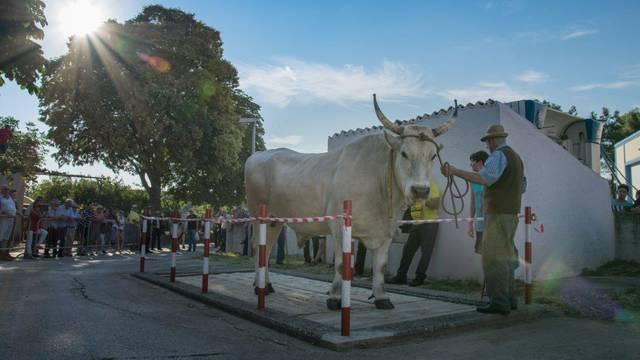 U Kanfanaru se otvara prvi Park istarskog vola! Takvih volova ostalo je još niti 30 u Hrvatskoj