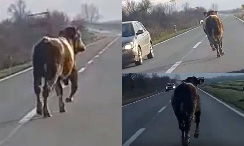 Odbjegla krava trčala po cesti, auti je izbjegavali u Turopolju