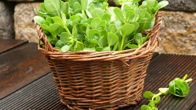 Nakon kiše bere se salata, ali se ne smije hodati oko biljaka