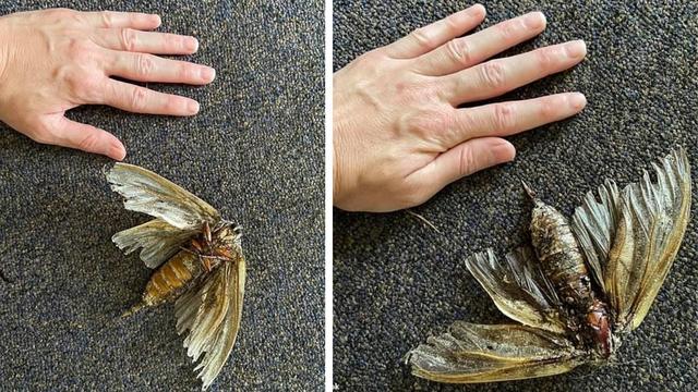 Australija: Žena čistila kuću pa pronašla kukca veličine ruke