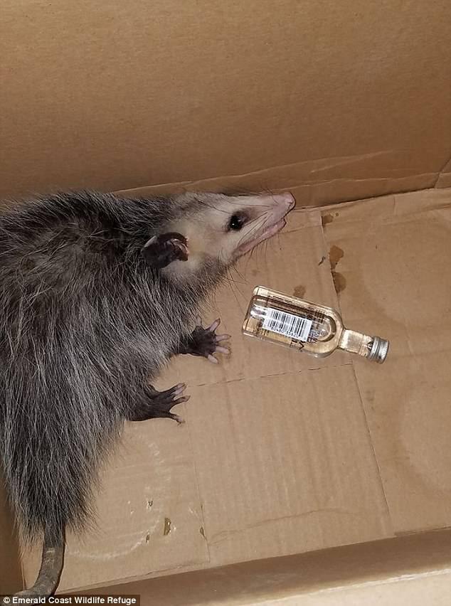 Oposum strusio bocu viskija: Morao je hitno na triježnjenje