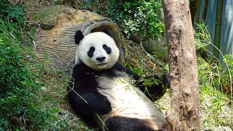 Dvije bebe pande rođene su u francuskom ZOO vrtu Beauval