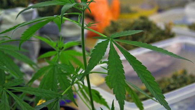 Ulovili triljskog dilera: U stanu pronašli 117 grama marihuane