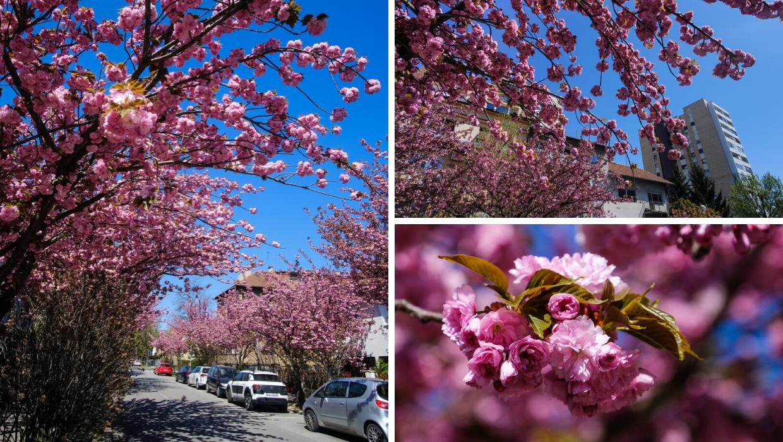 U najpoznatijoj zagrebačkoj 'selfie' ulici procvale su trešnje