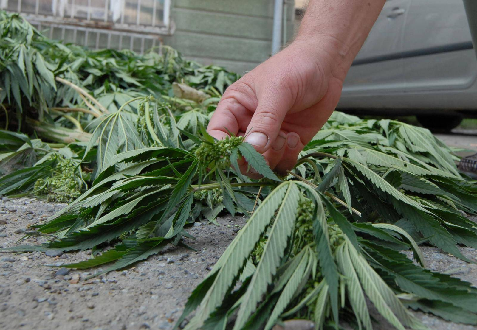 Trogir: Policija je uhitila dilera sa 17 kilograma marihuane