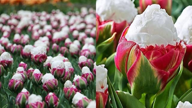 Tulipan koji oblikom podsjeća na sladoled novi je cvjetni hit!