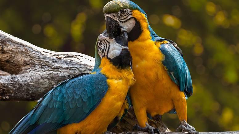 Većina kućnih papiga zapravo žudi za povratkom u divljinu?