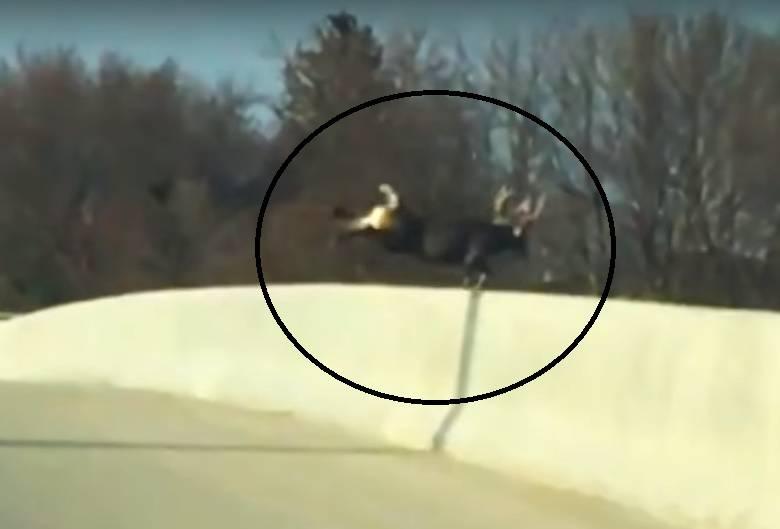 Jelen i tri srne skočili s mosta u smrt: 'Uhvatila ih je panika'