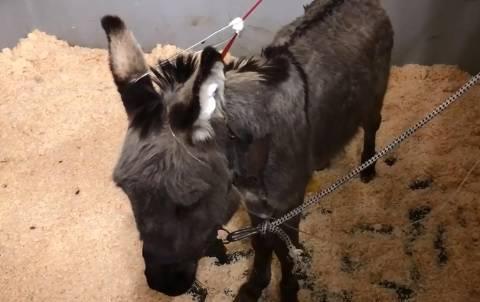 Tužna vijest: Uginuo magarac Bepo kojeg je spasio Ponoš