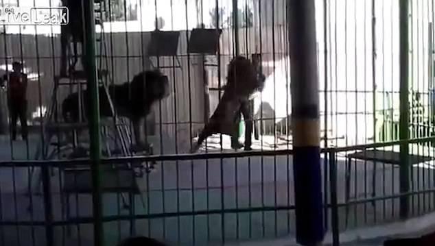 Šokantan video: Lav u cirkusu rastrgao trenera, djeca vrištala