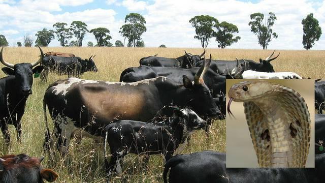 Jeli meso krave koju je ugrizla kobra: Čak 60 ljudi se otrovalo