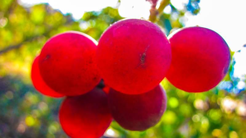 Jeste li znali da postoji grožđe čiji grozd košta čak 2800 kn?