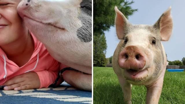 Iako je veterinar savjetovao eutanaziju, ova svinja je pronašla svoj dom i preživjela