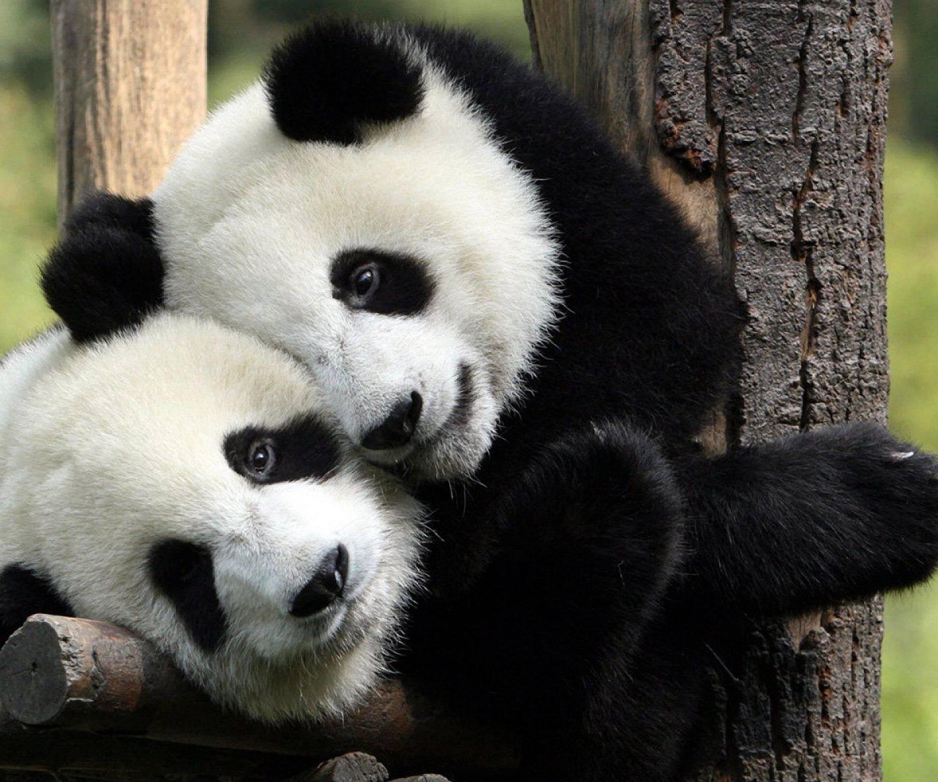 Danas je dan pandi: Još uvijek ih je oko 200 u zarobljeništvu