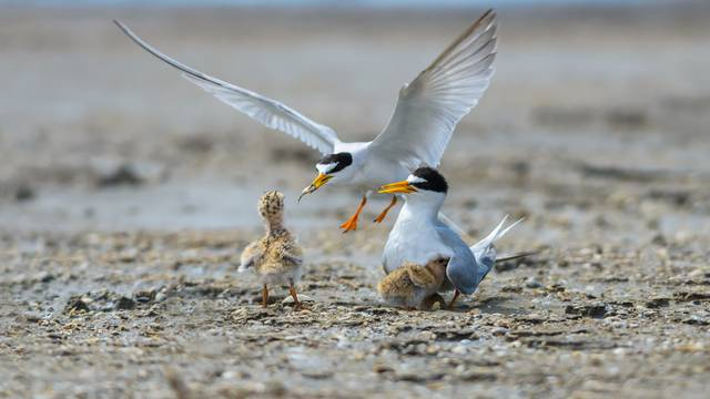 A,Little,Tern,Or,Sternula,Albifrons,,The,Beautiful,Birds,Guarding