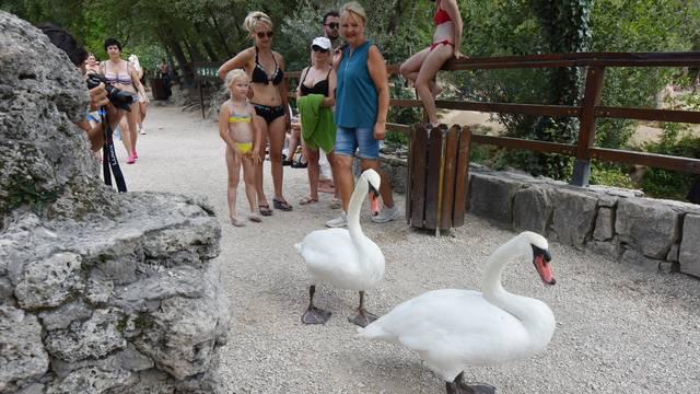 Dva labuda koja šeću Nacionalnim parkom Krka prava su turistička atrakcija
