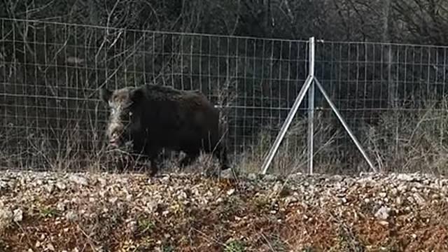 Na Istarskom ipsilonu kraj Pule na cestu ušetala divlja svinja