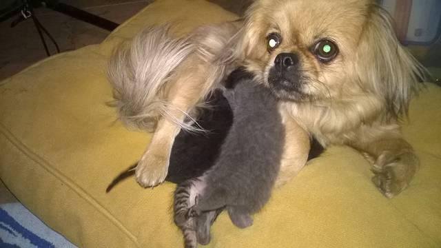 Zamjenska mama: Vau, vau, moji mačići ja ću vas hraniti
