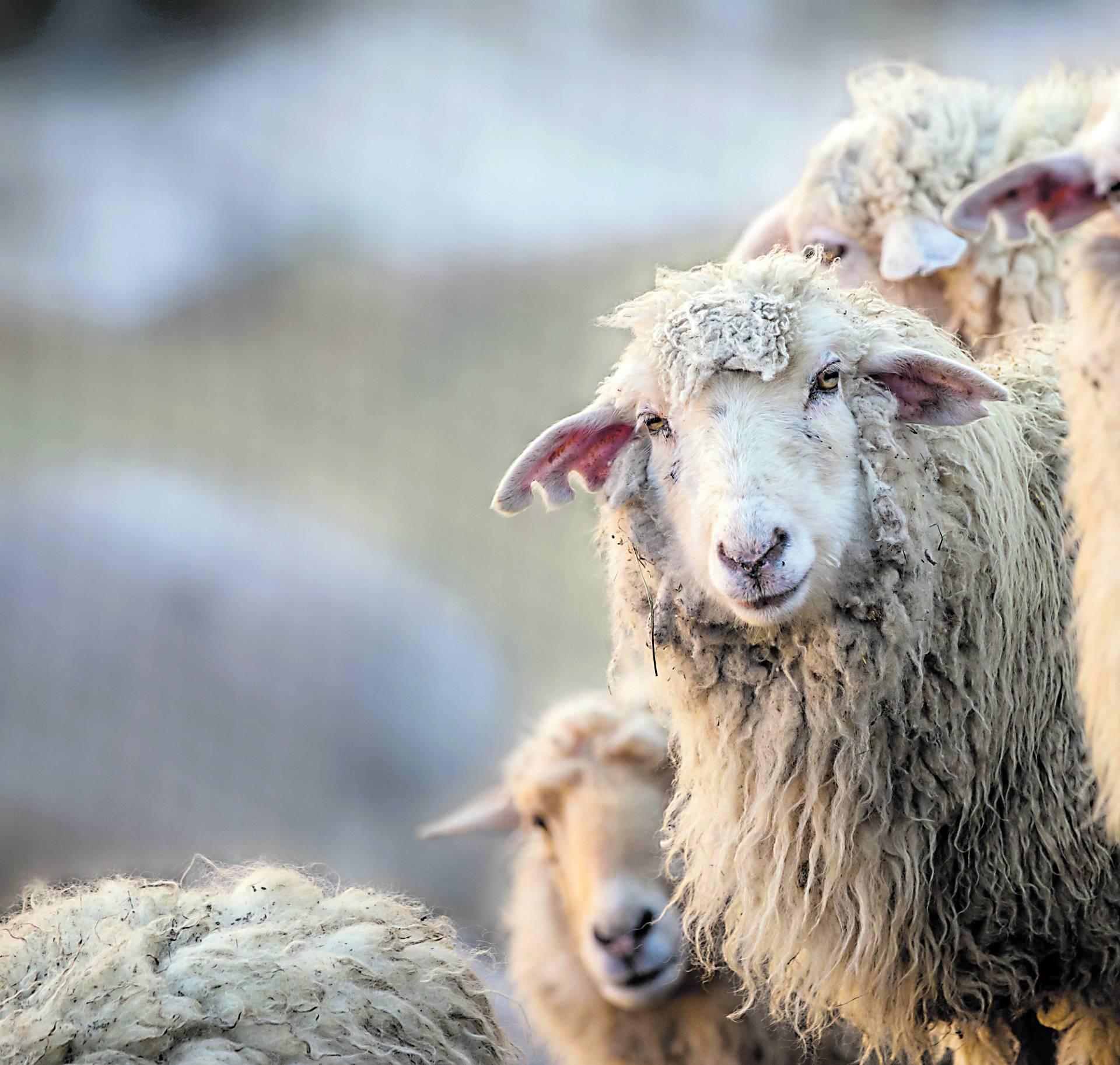 Lovački pas zaklao ovce pa ih vlasnik povješao po drveću