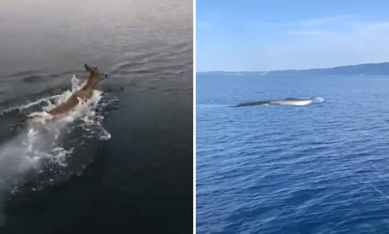 Nisu u karanteni: U more su nam stigli dupini, srne, kitovi...