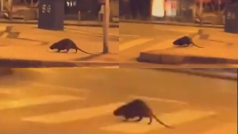 Neobična životinja prelazi cestu u Vrapču: Štakor se ugojio