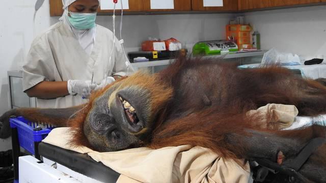Stravična sudbina orangutana: Upucali ga iz zračnice 74 puta