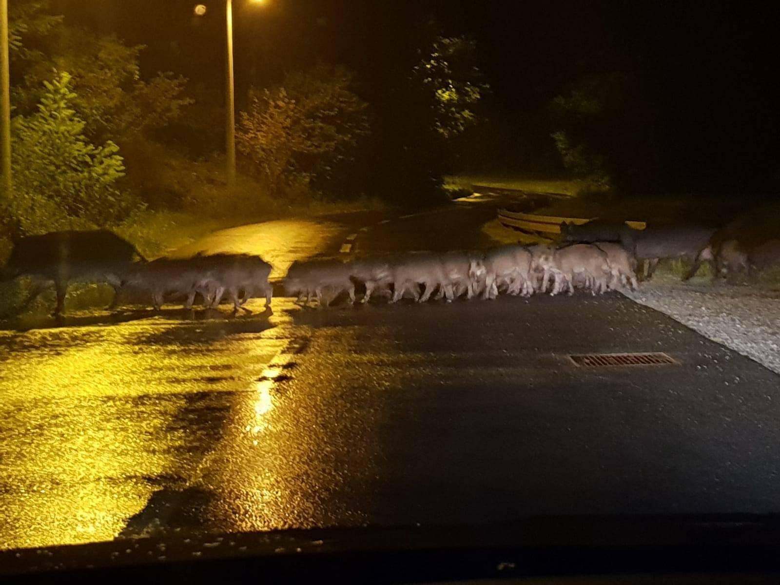 Divlje svinje u noćnoj šetnjici kraj Zagreba: Tu su svake noći