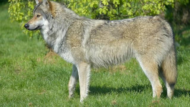 Prvi put u sto godina: Sivi vuk vratio se u sjevernu Francusku
