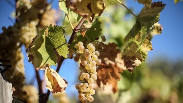Sadnica slovenske loze dala je plodove već nakon godinu i pol
