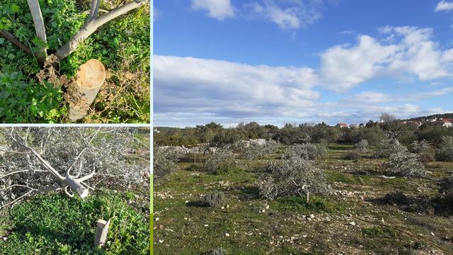 Starijem bračnom paru na Šolti prepilili su 16 stabala maslina