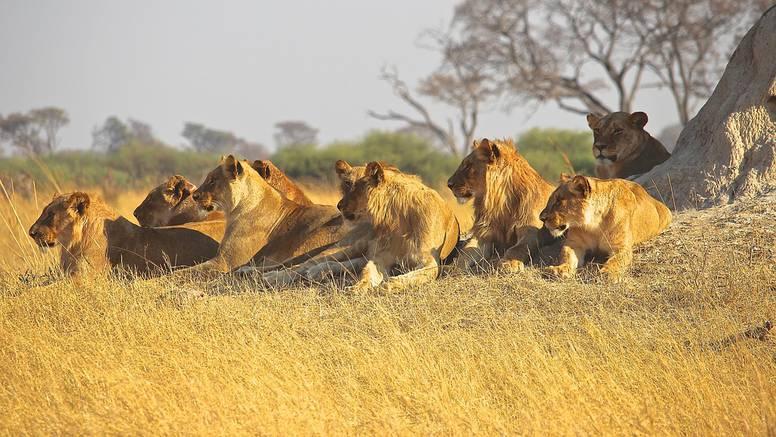 Krivolovca ubio slon i pojeli ga lavovi: 'Našli smo tek lubanju'