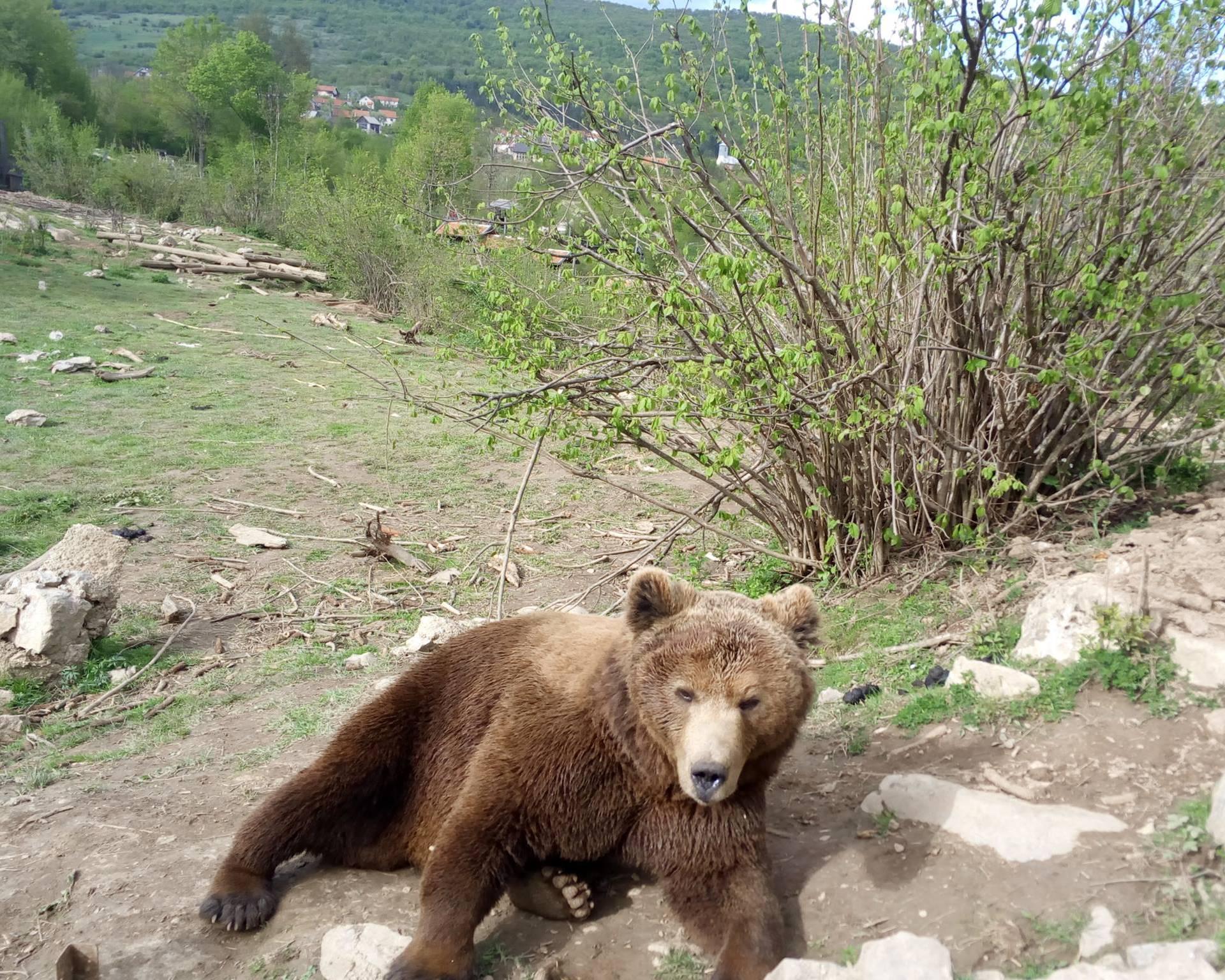 Mladi medo u Kuterevu nakon doručka odmorio je na travi