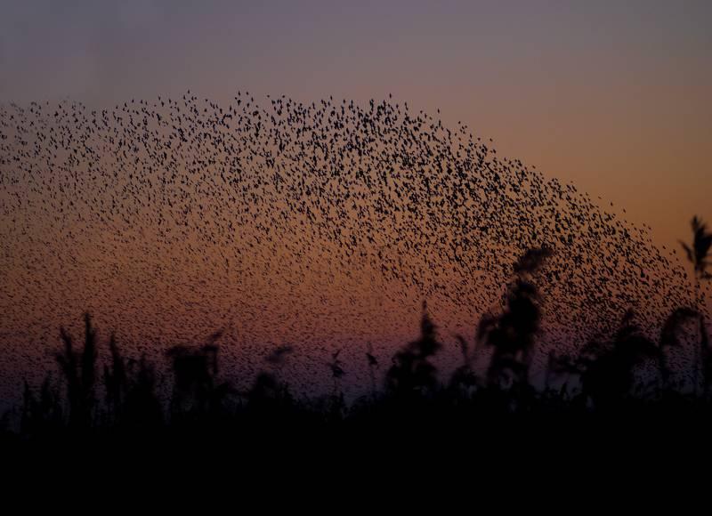 Fantastična snimka jata ptica u Irskoj, izgledaju kao da plešu