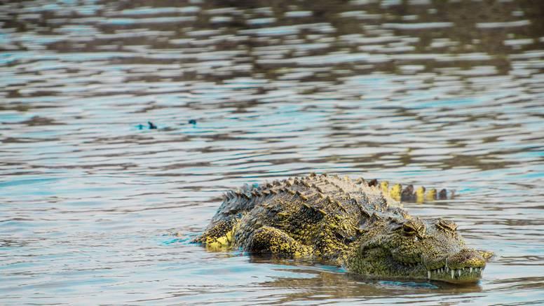 Zbog 'lockdowna' u Kostariki krokodili izlaze iz svojih staništa