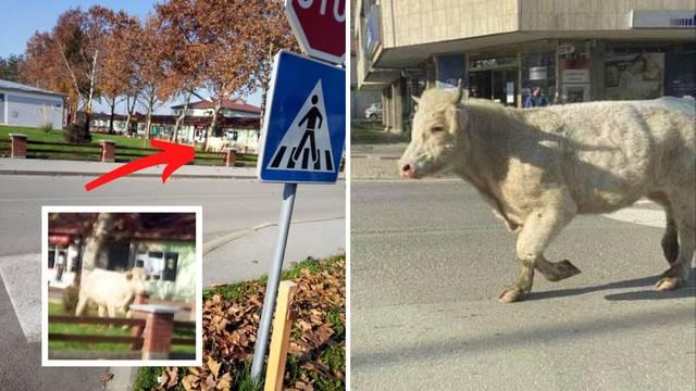 Odbjegli bik Joza opet u Slatini: Javite se policiji kad ga vidite!