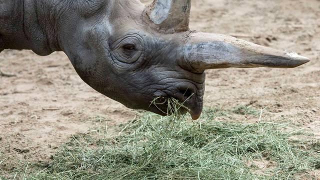 U Berlinu je uginula Kilaguni, najstariji crni nosorog na svijetu