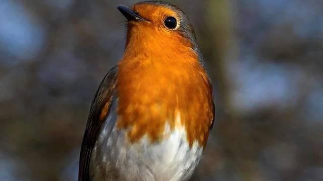 Ptica crvendać