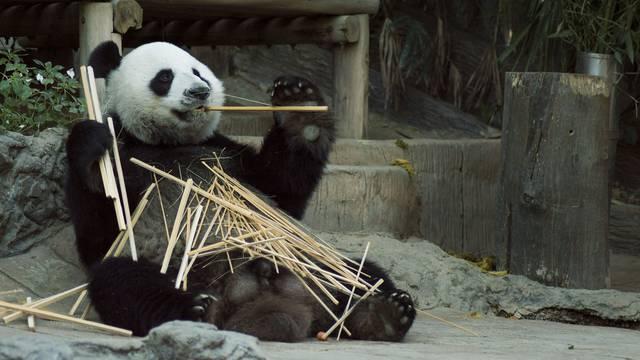 Odlična vijest za pande: Više nisu na popisu ugroženih vrsta