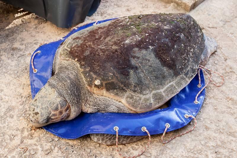 Uginula glavata želva koju je bura izbacila u blizini Zadra