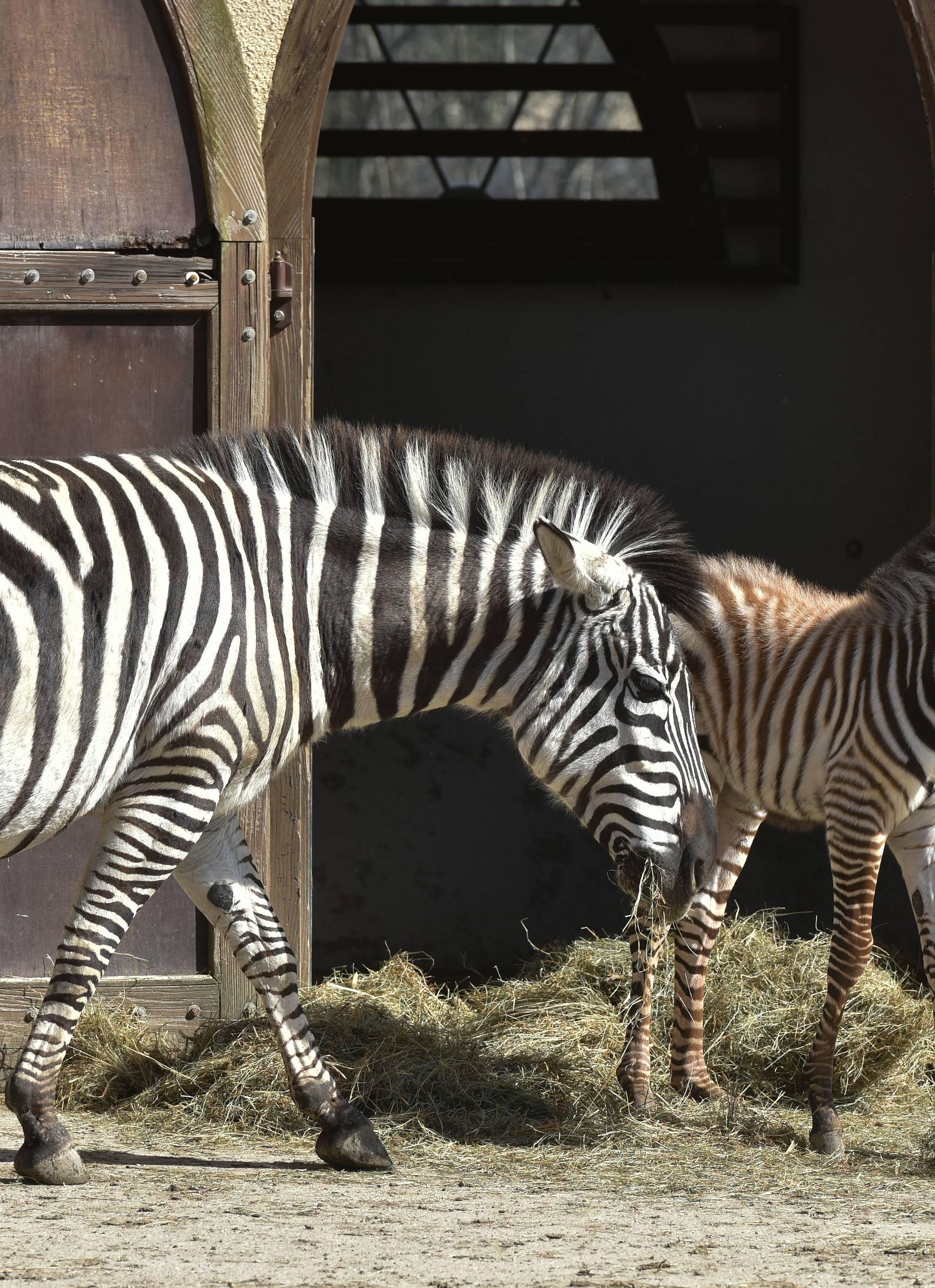 Novopridošlica u zoološkom: Stigao mali zebrić ili zebrica