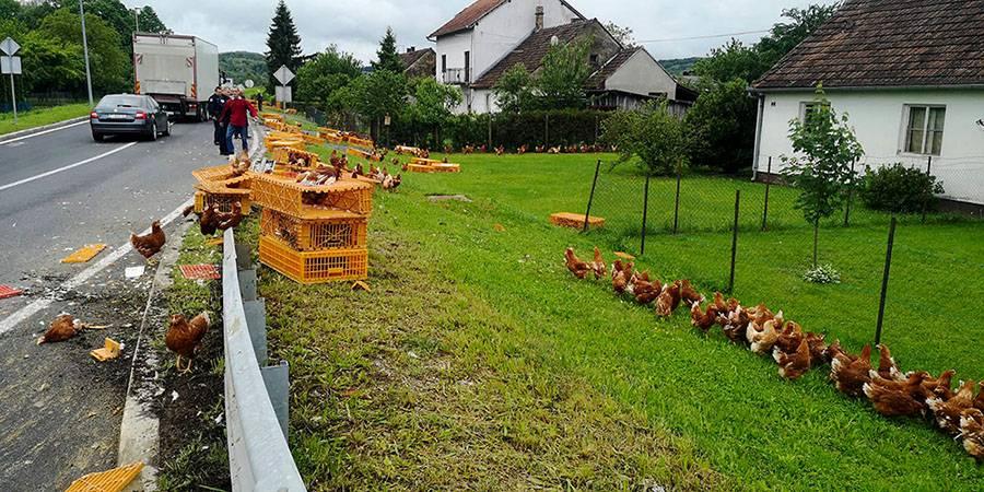 Neobičan prizor u Virovitici: Iz kamiona su ispale žive kokoši...