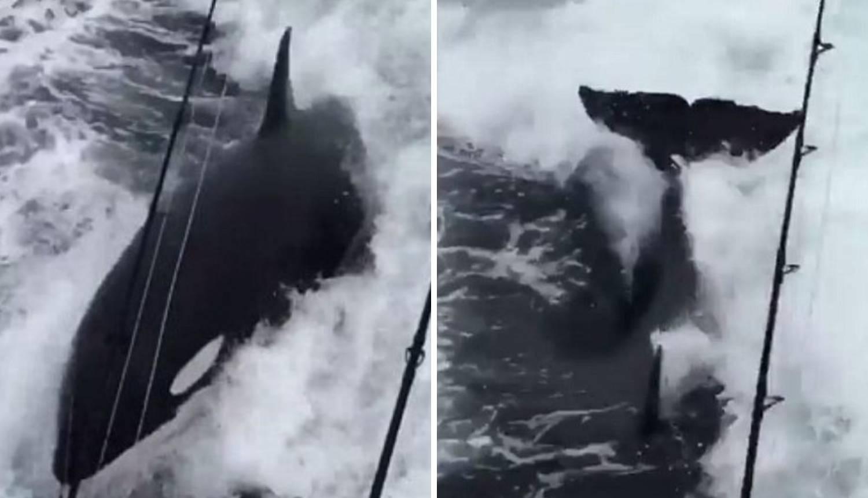 'Ovo se vidi jednom u životu': Rijetki prizori zaigranih kitova